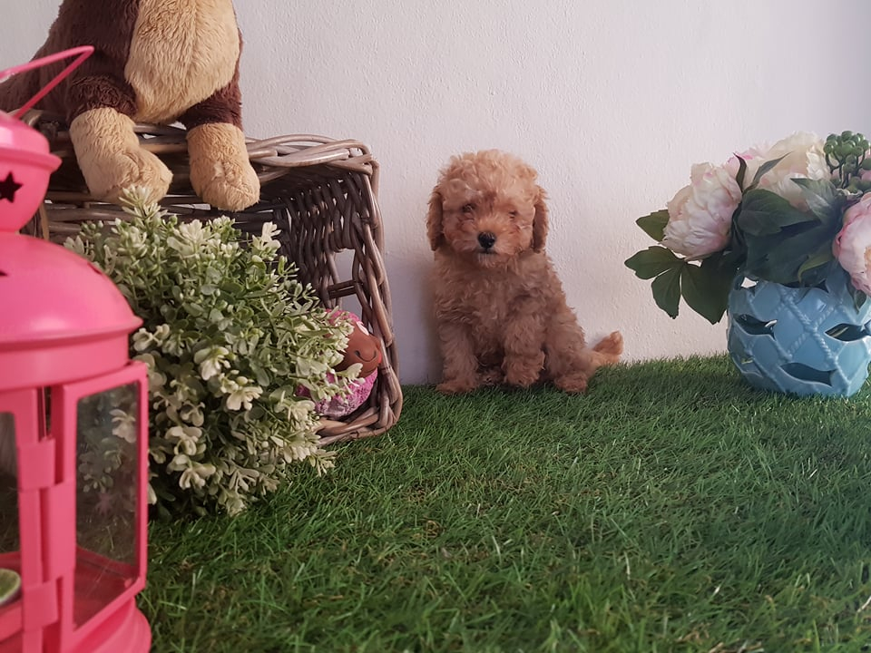 Apricot ve Red Toy Poodle