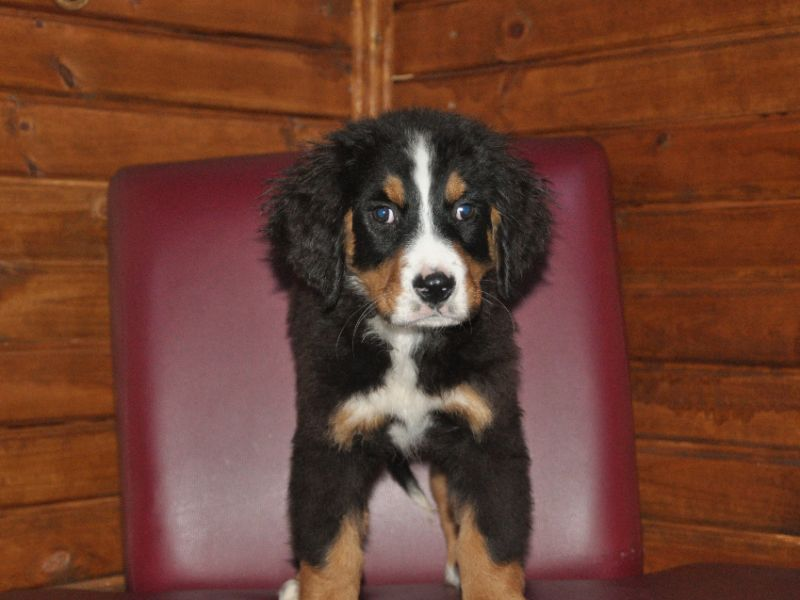 Bernese Mauntain Dog